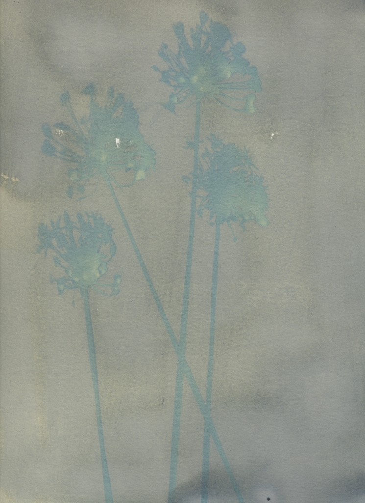 Cyanotype of Chive flowers before rinsing